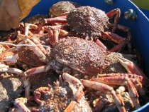 Picture of Spider Crabs West Wales