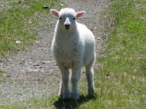 Picture of Welsh Lamb