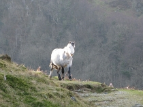 Picture of Wild Horses in Snowdonia