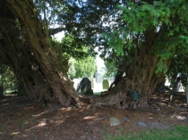 Picture of Trunk of Oldest Tree in Wales