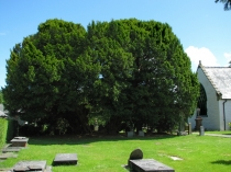 Picture of Ancient Yew Tree Llangernyw