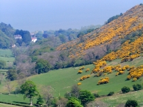 Picture of Golden Gorse in Nant-y-Glyn Valley