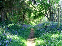 Picture of Bluebell Woods in Nant-y-Glyn Valley