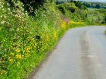 Picture of Hedgerow Flowers in Llyn