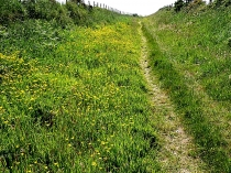 Picture of Footpath Buttercups