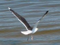 Picture of Greater Black-backed Gull