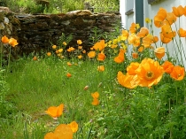 Picture of Lledr Valley Poppies