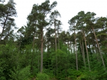 Picture of Gwydyr Forest Trees