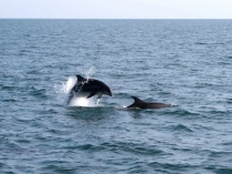 Picture of Dolphins Swimming off Lleyn Peninsula
