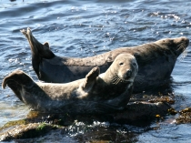 Picture of Seals on Lleyn Peninsula