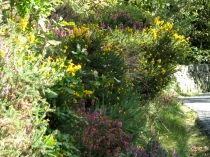 Picture of Gorse and Heather