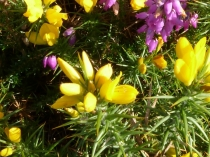 Picture of Wildflowers of Heather and Gorse