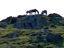 Picture of Wild Welsh Horses