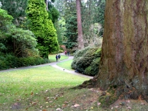 Picture of Giant Redwood at Bodnant Gardens