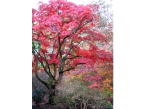 Picture of Red Tree