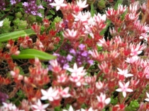 Picture of Stonecrop