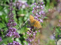 Picture of Llandudno Happy Valley Butterfly