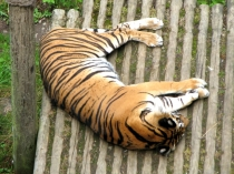 Picture of Tiger Snoozing at the Welsh Mountain Zoo
