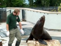 Picture of Sealion at Colwyn Bay Zoo