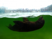 Picture of Sealion Swimming at Colwyn Bay Zoo
