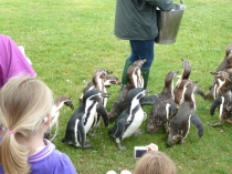 Picture of Penguins at the Welsh Mountain Zoo