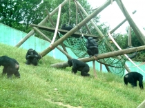 Picture of Chimpanzees at the Welsh Mountain Zoo, Colwyn Bay