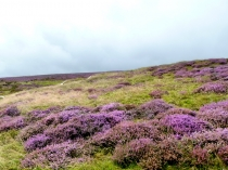 Picture of Heather on Maesyrychen Mountain
