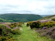 Picture of Gorse and Heather on Horse Shoe Pass