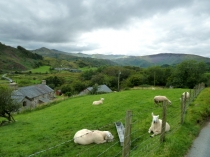 Picture of Sheep at Pen-y-rhiw Farm Snowdonia