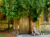 Picture of Yew Trees St Edward's Parish Church