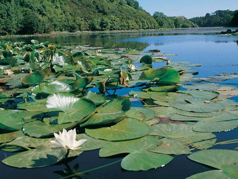 Picture Of Water Lilies On Bosherston Lakes