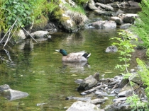 Picture of Duck on the River Wybrnant