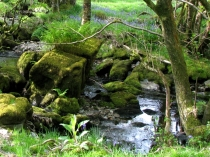 Picture of Mosses and Bluebells