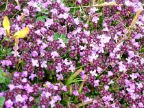 Picture of Wild Thyme