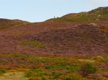 Picture of Purple Heather in September