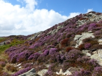 Picture of Heather on the Hillside
