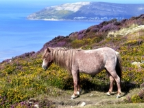 Picture of Pony and the Great Orme