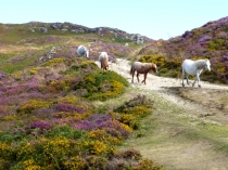 Picture of Carneddau Horses on Conwy Mountain