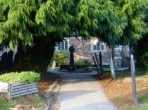 Picture of Ancient Yew Tree at Conwy Church