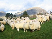Picture of Welsh Sheep and Manod Mawr