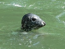 Picture of Menai Strait Seal