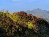 Picture of Purple Heather