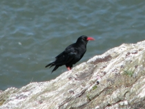 Picture of Chough