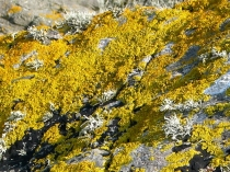 Picture of Lichen