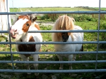Picture of Two Shetland Ponies