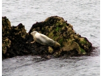 Picture of Seals on Anglesey