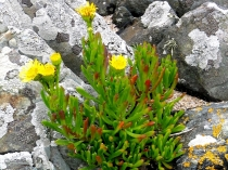 Picture of Golden Samphire
