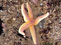 Picture of Starfish at Rhos Point